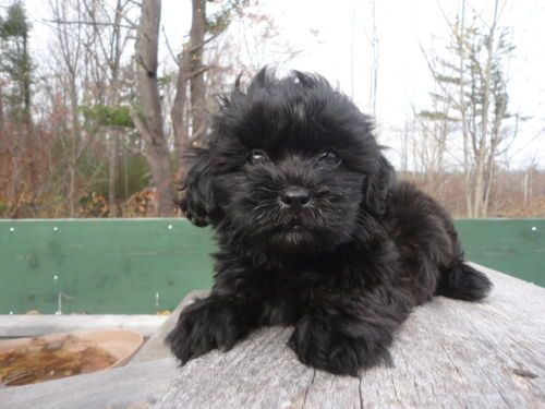 Adorable Little Yorkiepoo Puppies They Are 8 Weeks Old Yorkie Poo Puppies Shih Poo