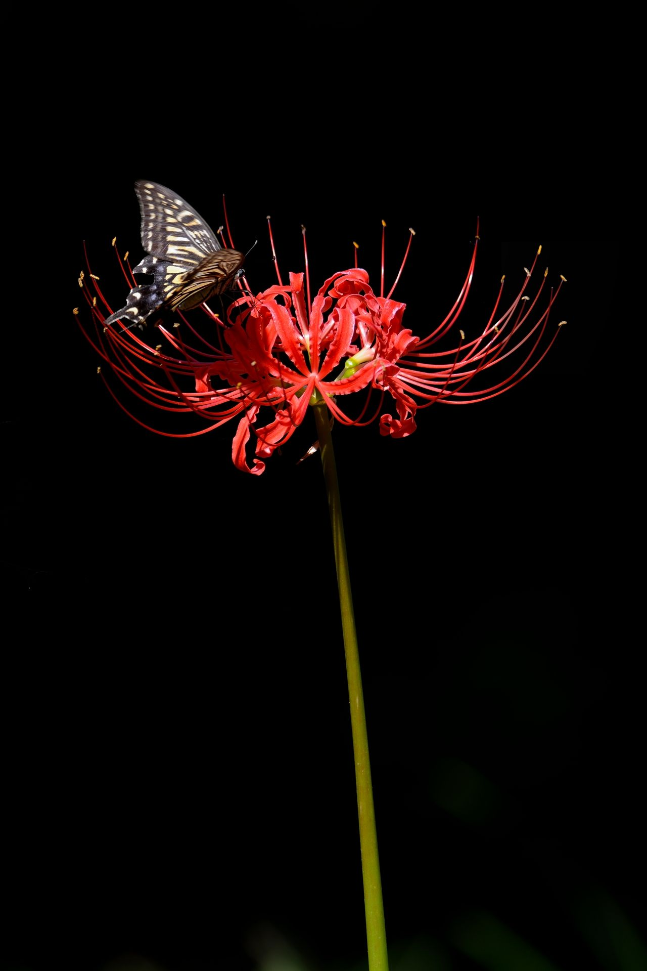 50 Best Spider Lily Images In Lily Red Spider Lily Red Lily Flower