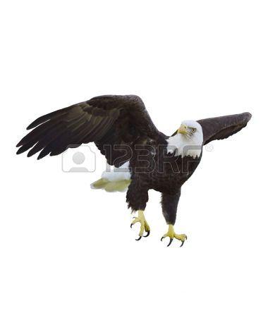 aguila: Pintura Digital De águila calva americana | CRISTO VIVE ...