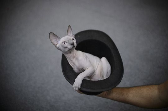 Canadian Sphynx cat sits in a hat before being evaluated ...