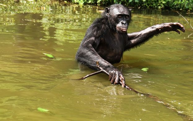 Can a pioneering bonobo rehabilitation project serve as a blueprint - new tribal blueprint diet