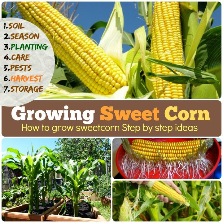 Growing Sweet Corn 1 Soil 2 Season 3 Planting 4 Care 5 Pest And