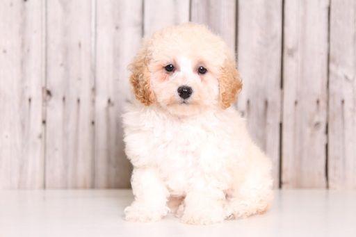 Poochon Puppy For Sale In Mount Vernon Oh Adn 32658 On Puppyfinder Com Gender Female Age 9 Weeks Old Poochon Puppies Puppies For Sale Puppies