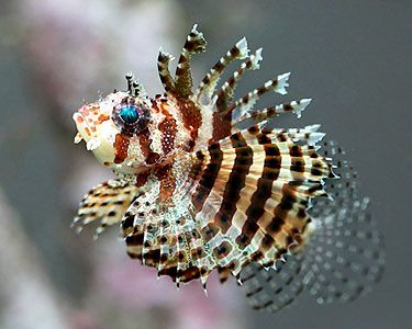 Fuzzy Dwarf Lionfish Dendrochirus Brachypterus Species Profile Fuzzy Dwarf Lionfish Dendrochirus Brachypterus Care In Lion Fish Ocean Creatures Sea Fish