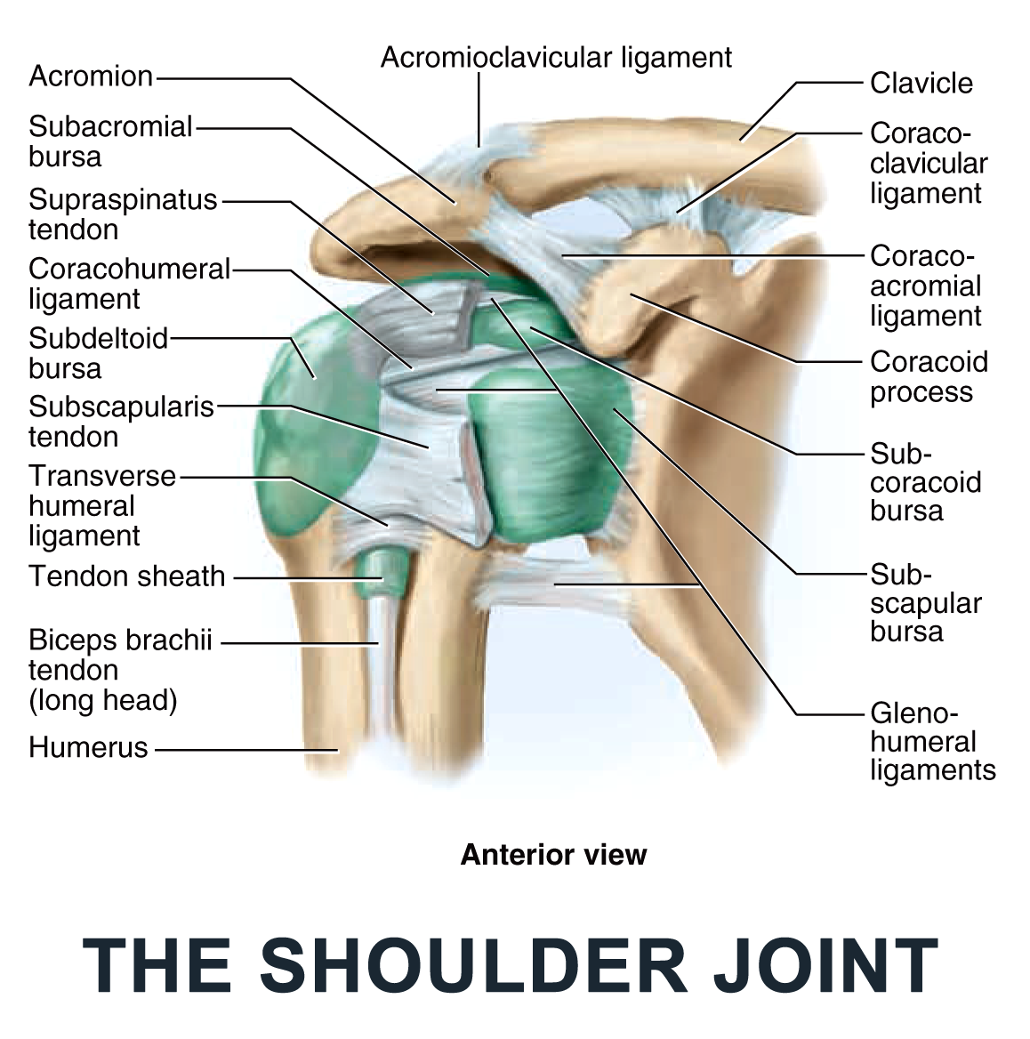 The Shoulder Joint - #anatomy images illustrations #anatomy images ...