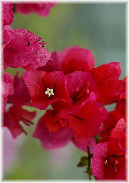 Drillingsblume Bougainvillea Spectabilis Barbara Karst | Shops ... Exotische Pflanzen Garten Bougainvillea Drillingsblume