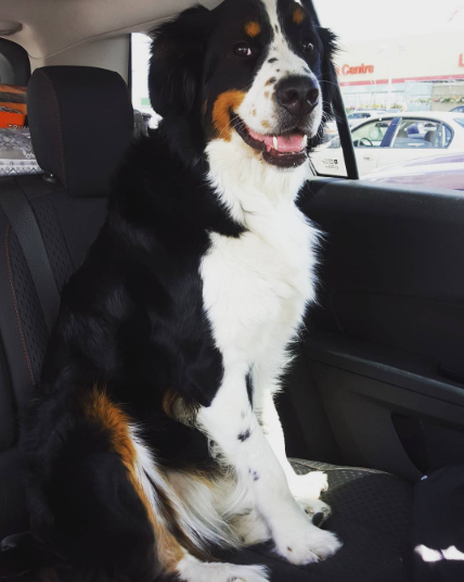 Border Collie Bernese Mountain Dog