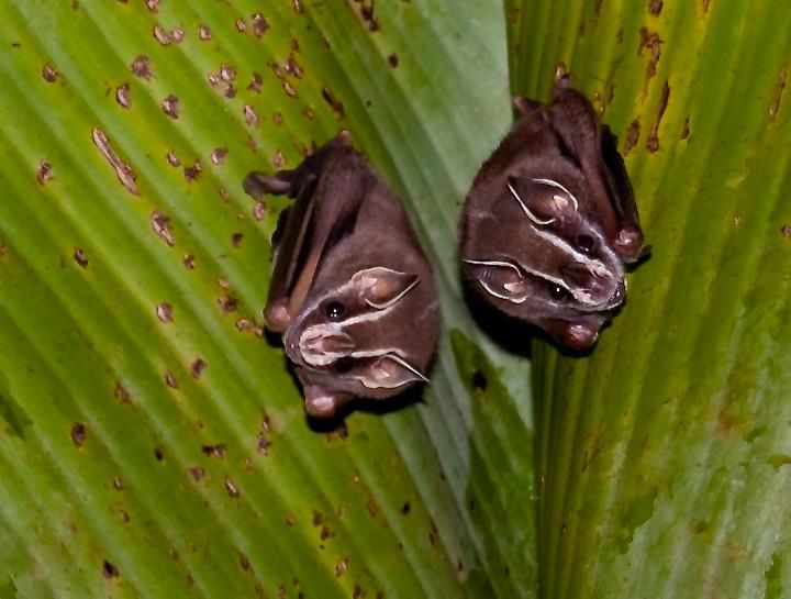 One of this cute pair of Common Tent-making Bats (Uroderma bilobatum) bit & One of this cute pair of Common Tent-making Bats (Uroderma ...