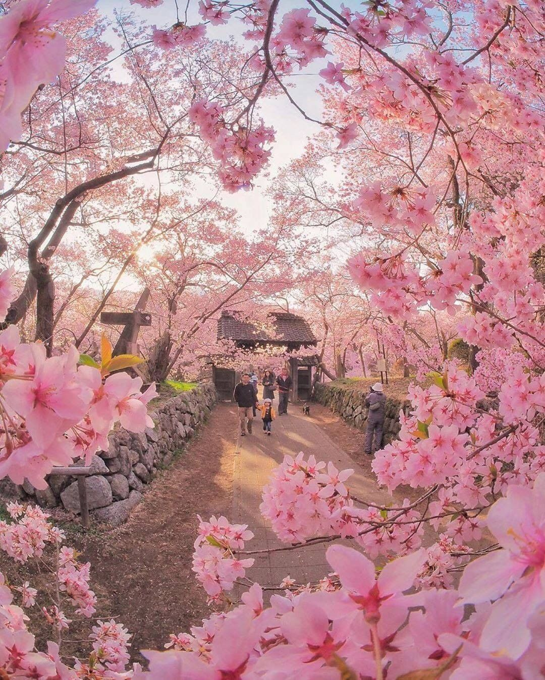 Cherry Blossoms In Japan Captured By Criss1016 Spring Photography World Photography Canon Photography