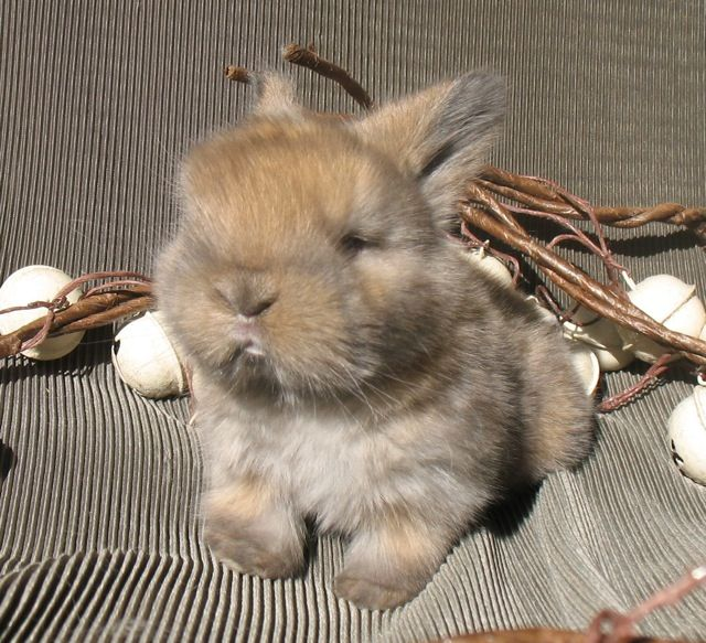 Looks Just Like My College Pet Simone You Just Stare At Them All Day I Love Holland Lops Rabbit Breeds Cute Bunny American Fuzzy Lop