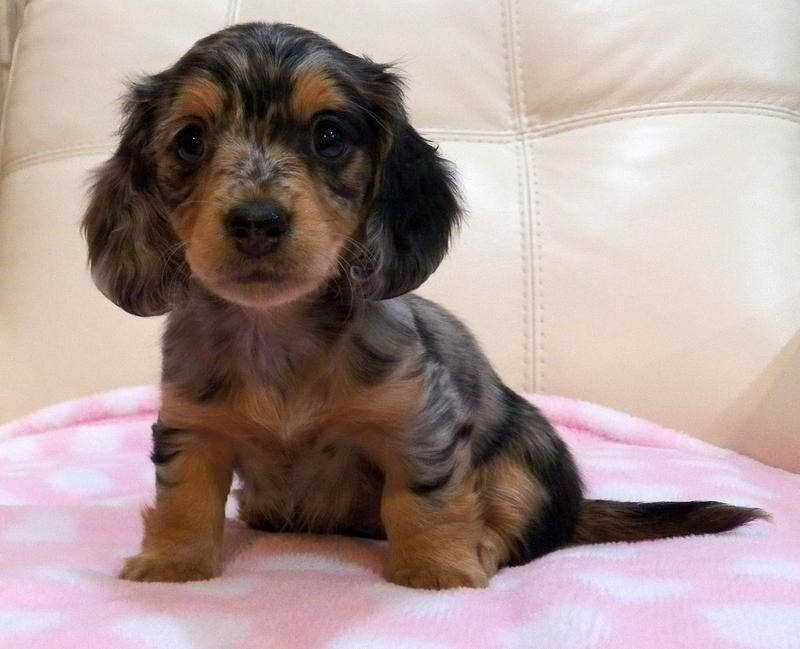 Dachshund Puppies For Sale Ny Dachshund Puppies Puppies For