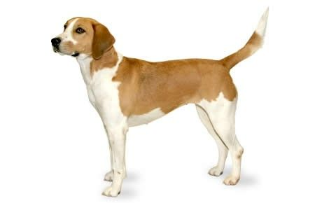 Harrier Dog Breed Information Pictures Characteristics Facts