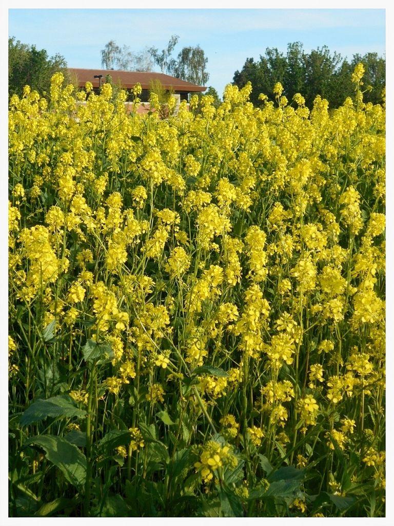Mustard Grass Spring Grass, Wild flowers, Flowers