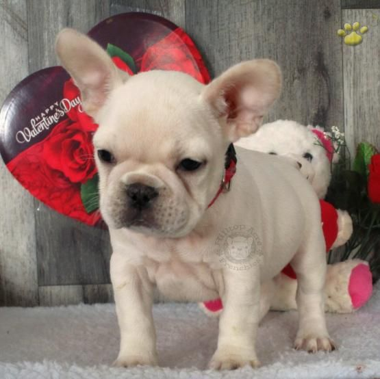 Bruno French Bulldog Puppy for Sale in Holtwood, PA