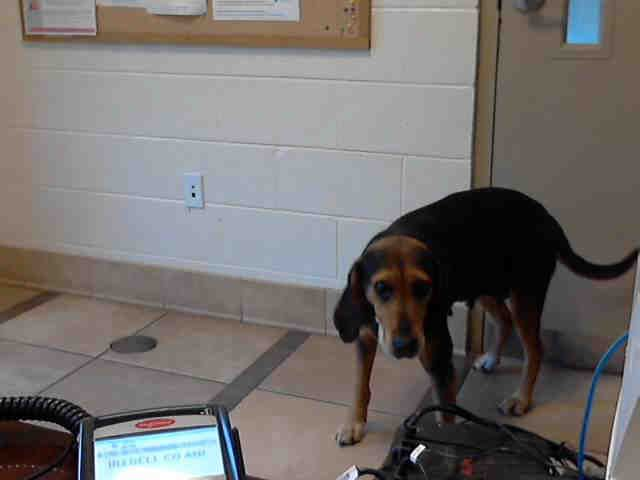 June 6th still avail. I am a female, black and brown Black and Tan Coonhound. about 3 years old. NC
