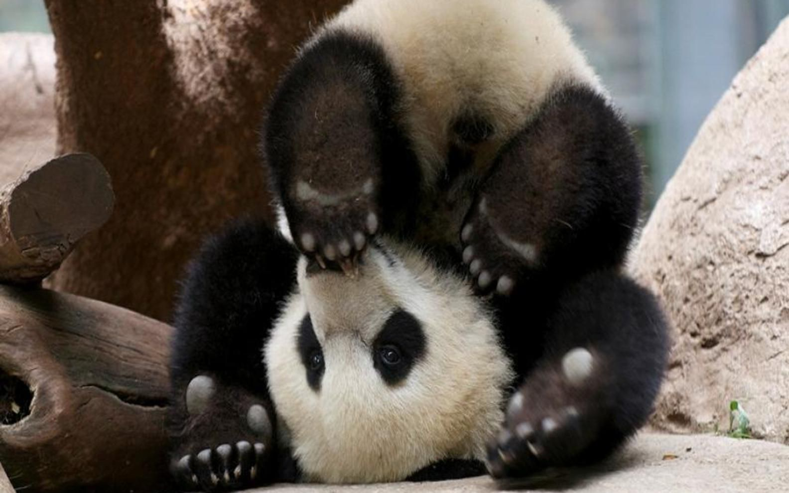 Cute Baby Panda Bear Wallpaper High Definition Iphone In Snow Wallpapers