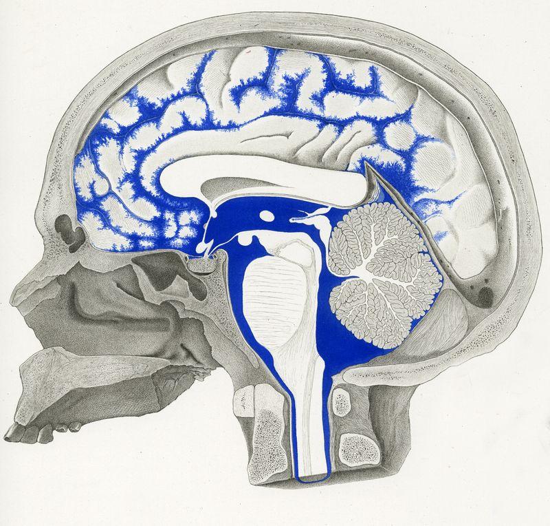 Nerve cells Studien in der Anatomie des Nervensystems und das ...