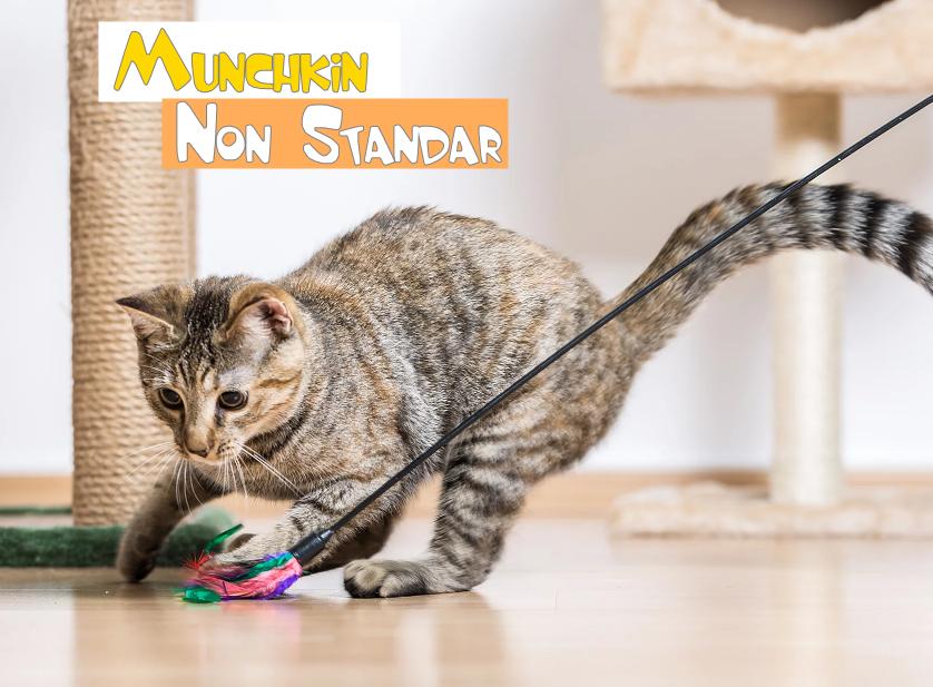 Munchkin Non Standar Di 2020 Kucing Munchkin Kucing Adopsi Kucing
