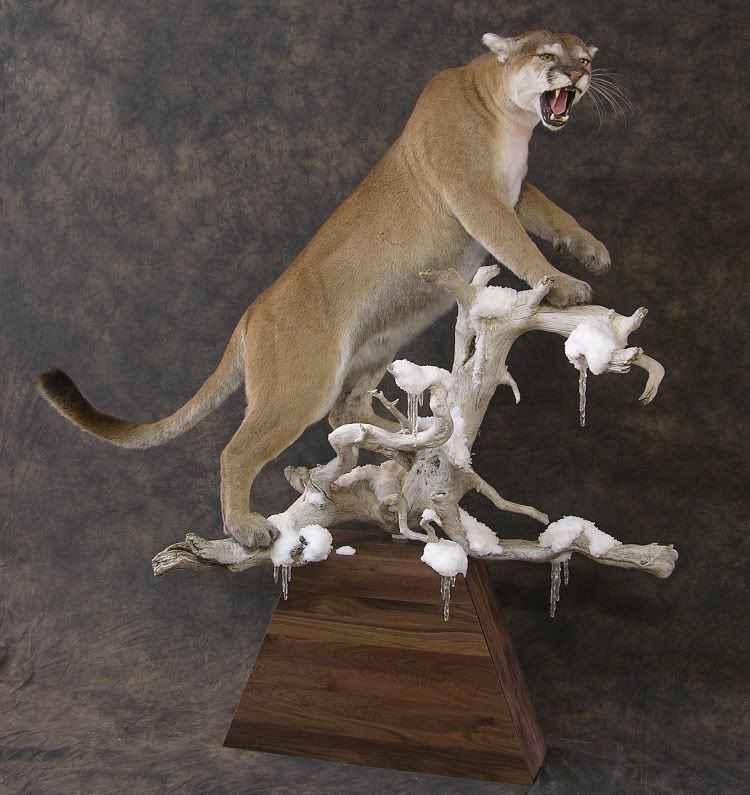 mountain lion taxidermy mount - Google Search | taxidermy mounts ...