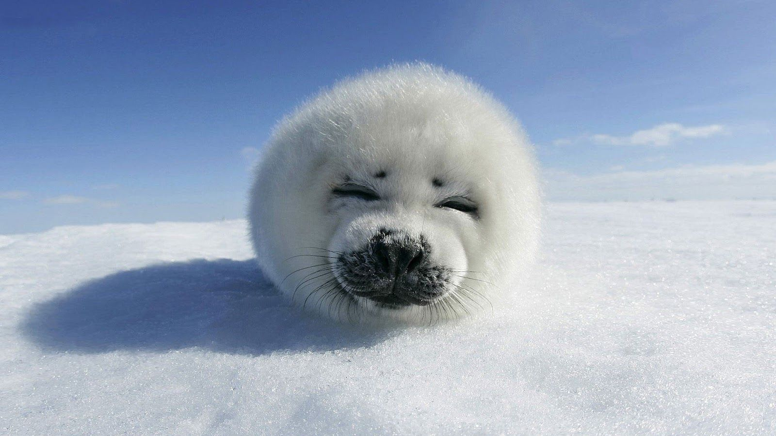 Baby Seal Resting On The Snow Cute Seals Cute Animals Cute Baby Animals