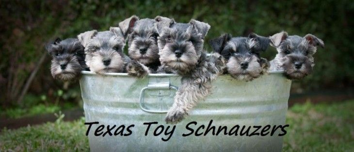Miniature Schnauzer Puppies For Sale In Texas Miniature