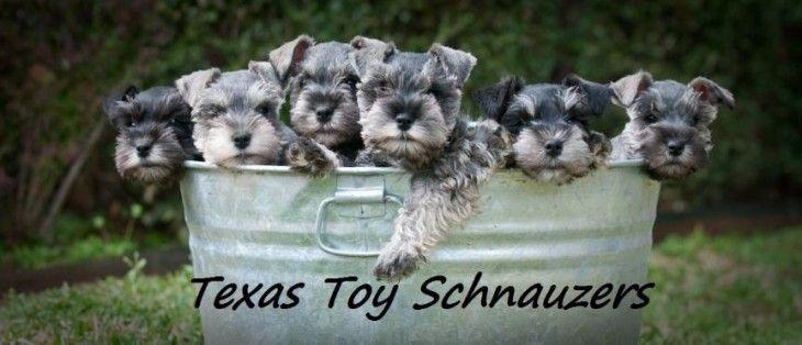 Miniature Schnauzer Puppies For Sale In Texas Miniature Schnauzer Puppies For Sale In Amarillo Texas Dog And Schnauzer Miniature Schnauzer Schnauzer Puppy