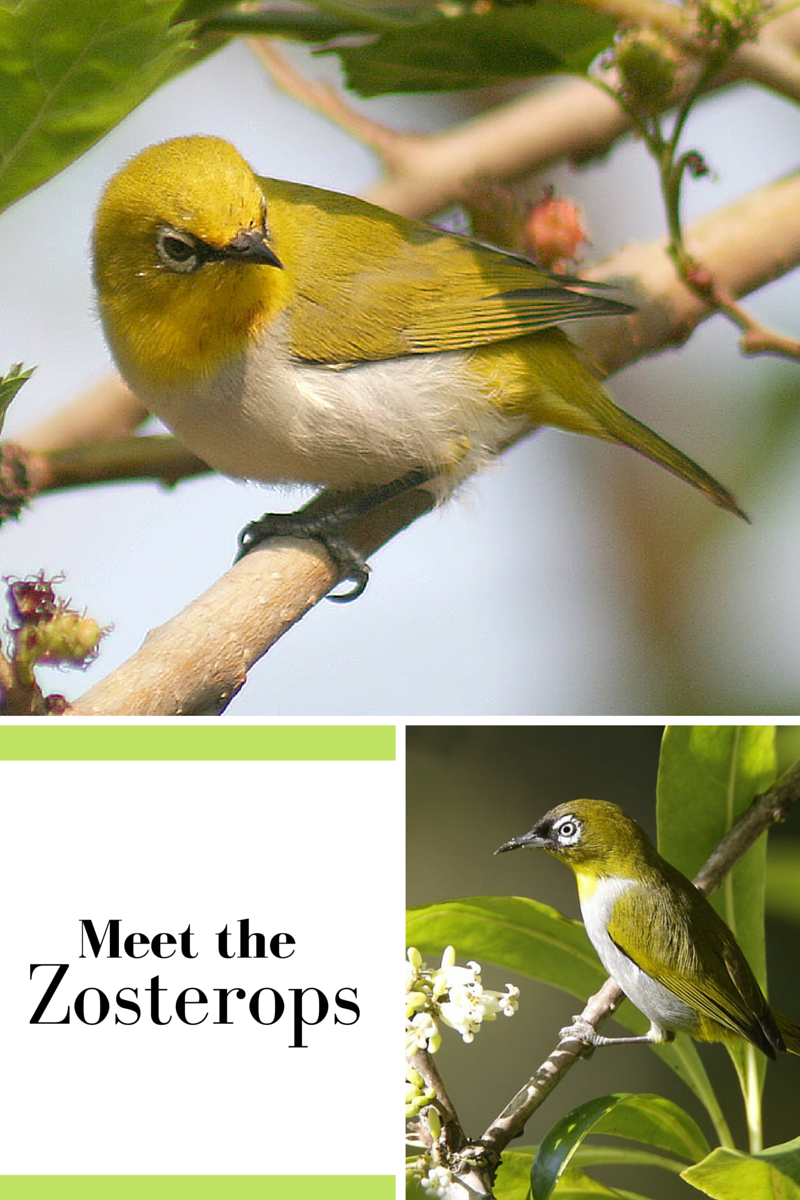 Meet The Zosterops Softfill Focus Also Known As White Eyes These Birds Are Great Softbill Beginner Species There Are Over 70 Members Of Aves Especies Caras