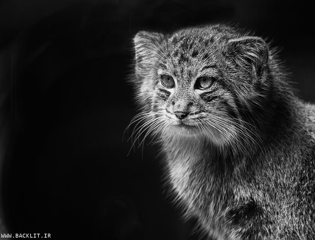 گربه وحشی In 2020 Silver Tabby Cat Pallas S Cat Cats