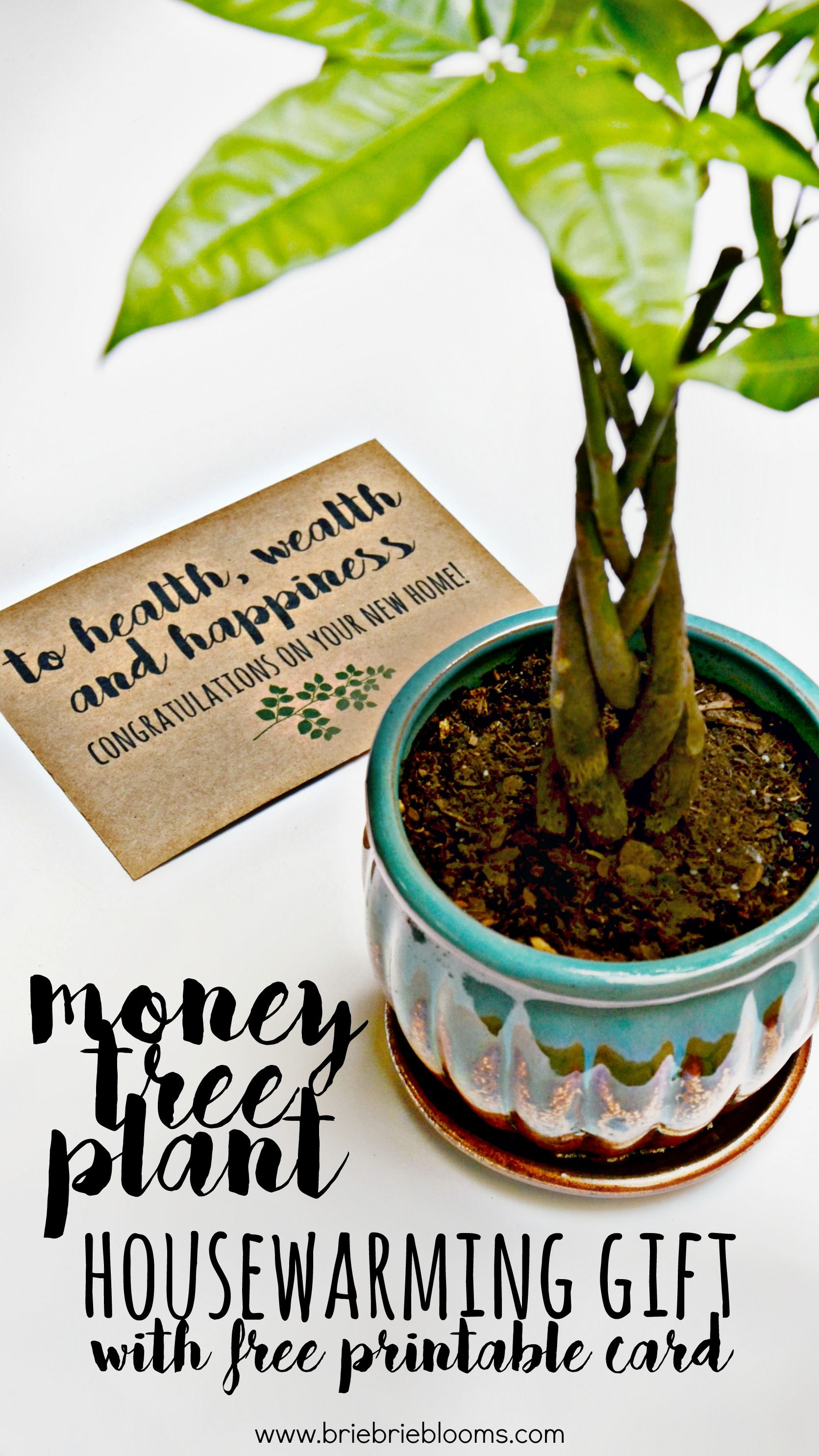Money Tree Plant Housewarming Gift Brie Brie Blooms Money Tree