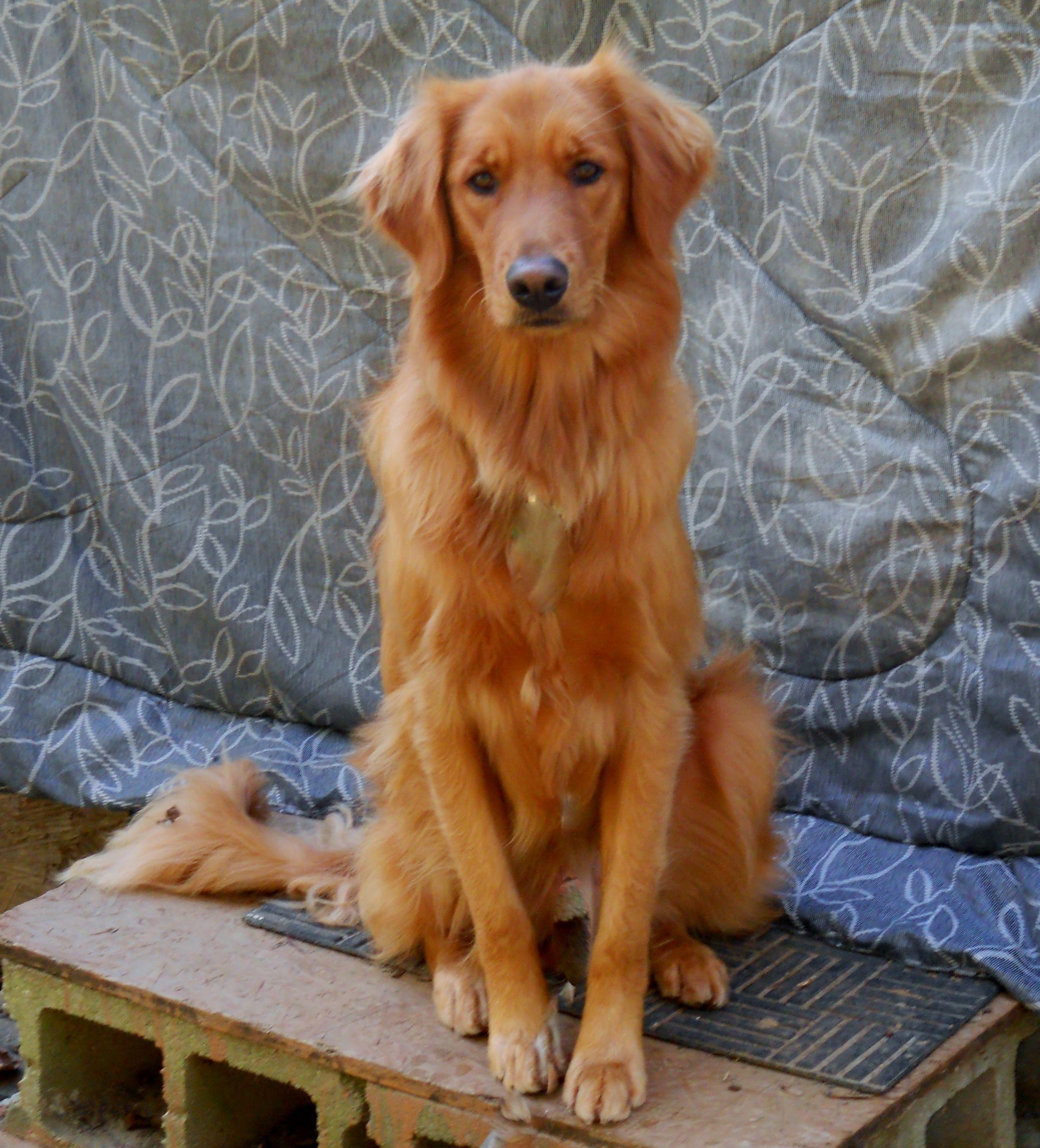 Sitting Pretty 3 Years Old Dog Advice Golden Retriever