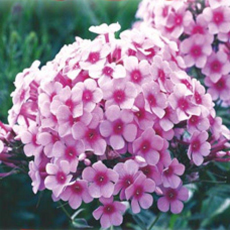 Phlox Flower Seeds Winter Flower Seeds Flower Seeds Online Grow Phlox At Home Garden Flower Seeds Online Winter Flowers Flower Seeds