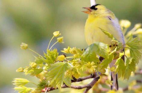Golden Finch How To Attract Birds Backyard Birds Why Do Birds
