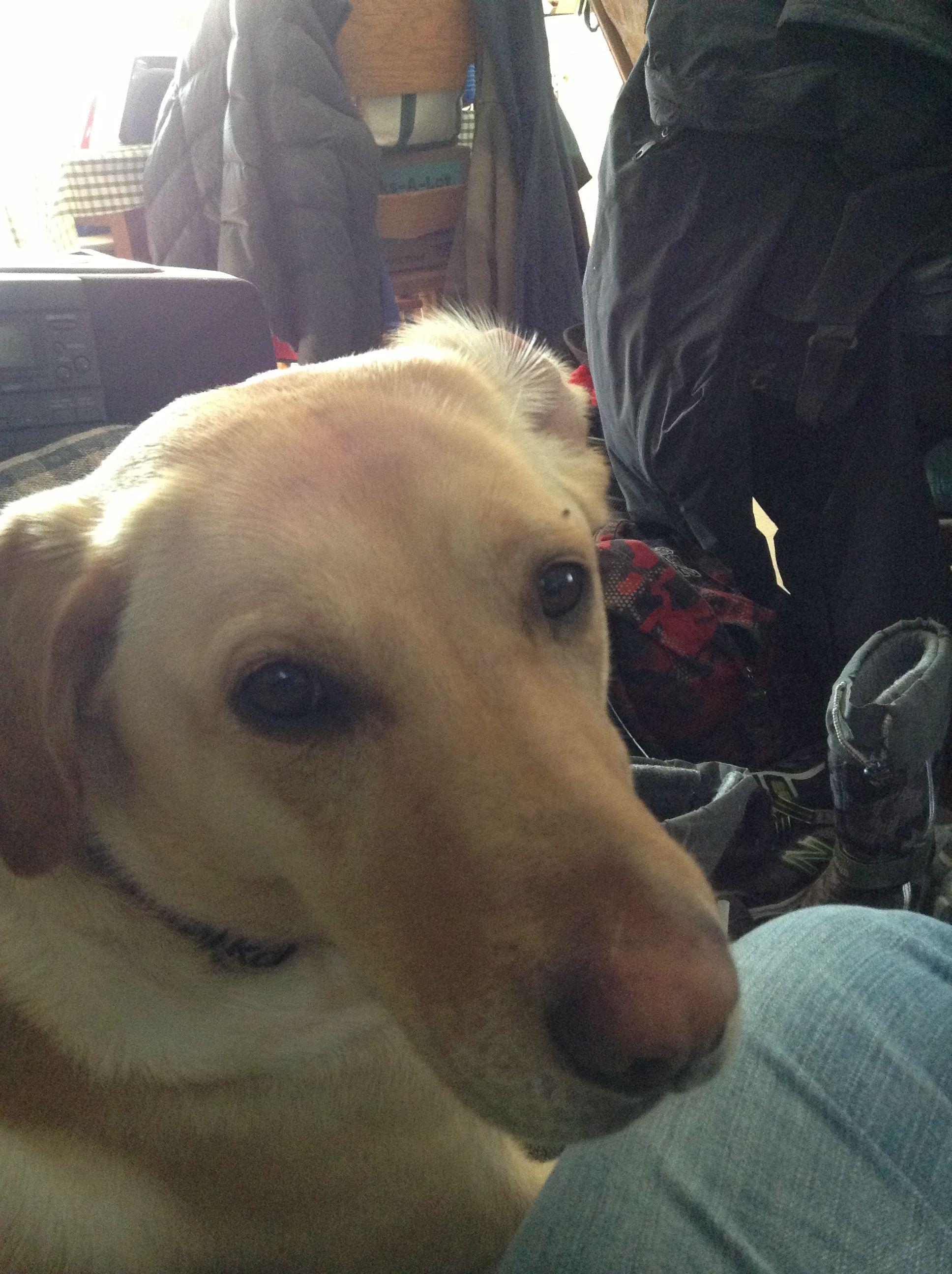 Dakota labrador retriever golden retriever puppy love
