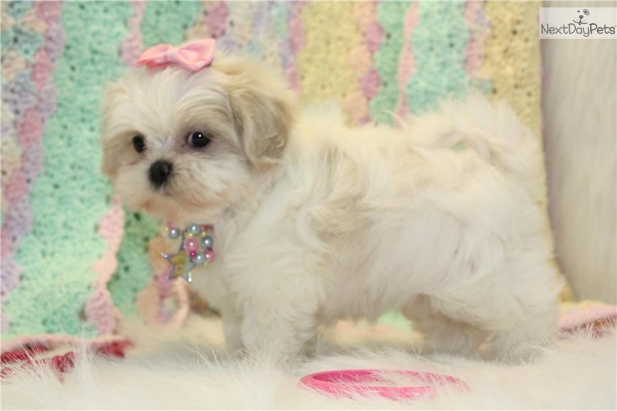 Meet Kree She Is A Rare White And Cream Shih Tzu Girl Fur