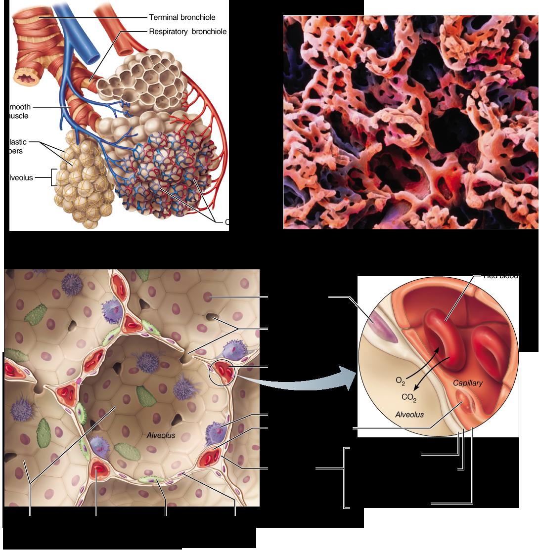 Functional Anatomy Of The Respiratory System Anatomy Pinterest