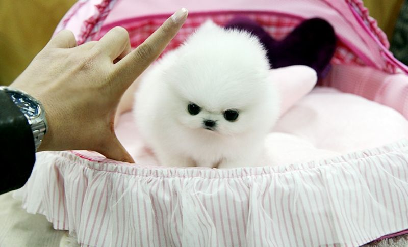 Nice Baby Face Adorable Pomeranian Puppies For Free Adoption
