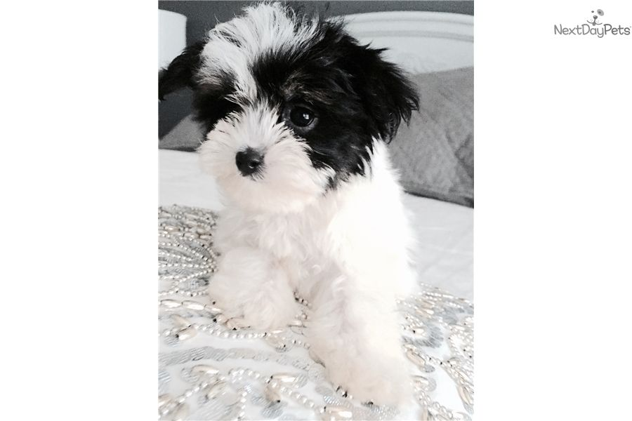 Malti Poo Maltipoo Puppy For Sale Near Birmingham Alabama