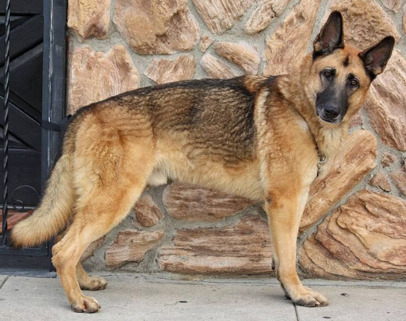 Pin By Bjp On Gsd German Shepherd German Shepherd Rescue