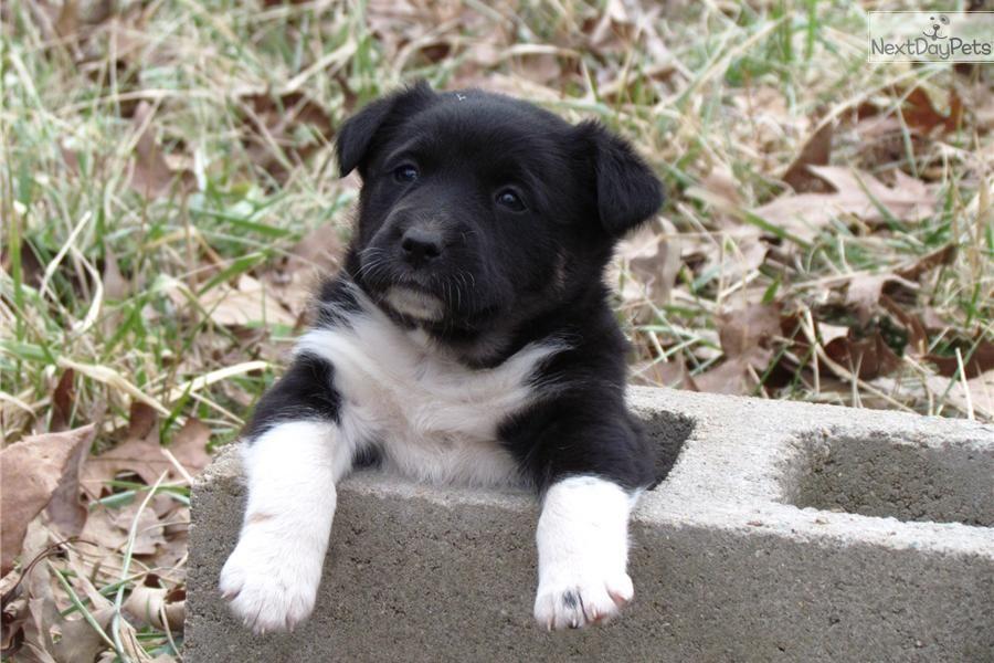 Meet Female a cute Australian Shepherd puppy for sale for