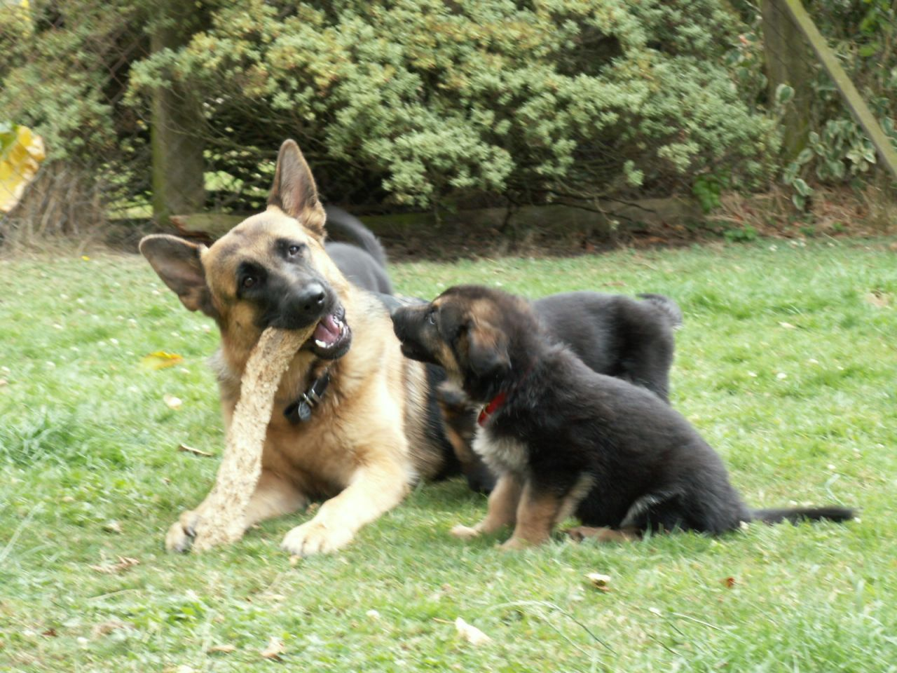Puppies Must Be Microchipped Before Being Sold And The Breeder