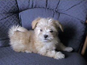 Fawn California Havanese Puppies For Sale In California Havanese Dogs Havanese Puppies Havanese