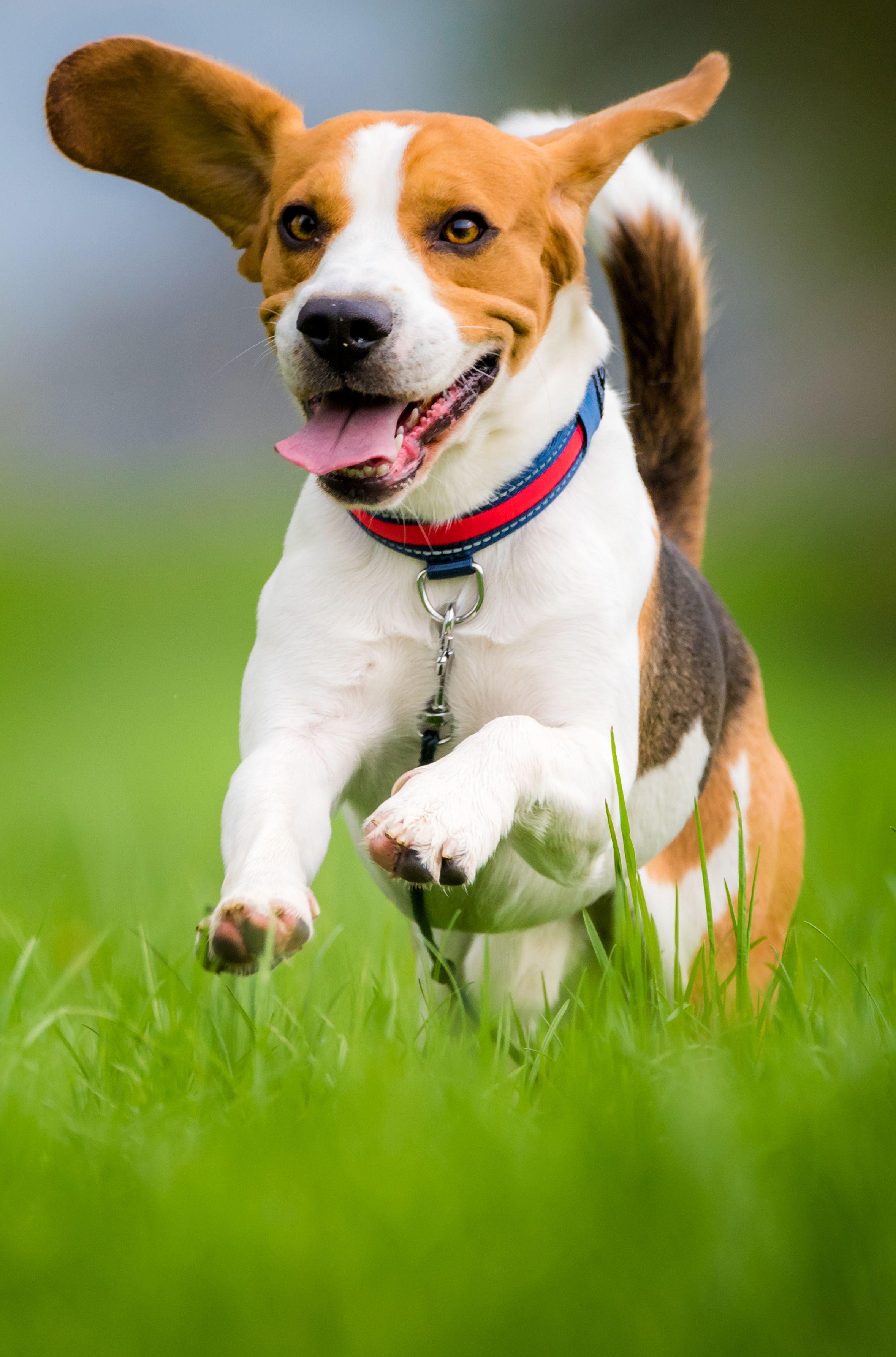 Beagle Beagle Puppy Beagle Dog Dogs
