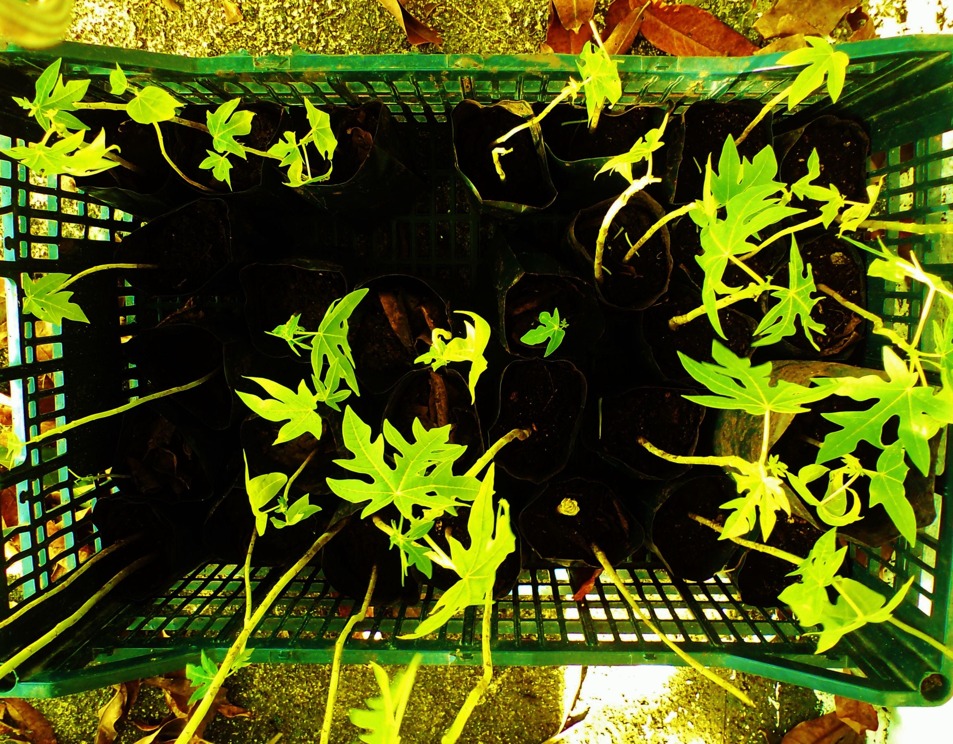 ¡Papayas! Este cultivo tropical es muy fácil de lograr