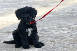List Of Dogs That Don T Shed Much With Pictures Portuguese Water Dog Puppy Portugese Water Dogs Portuguese Water Dog