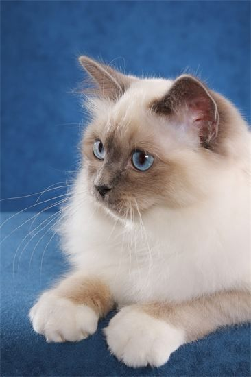ForHim Birmans Home Prospect, KY Cute cats and