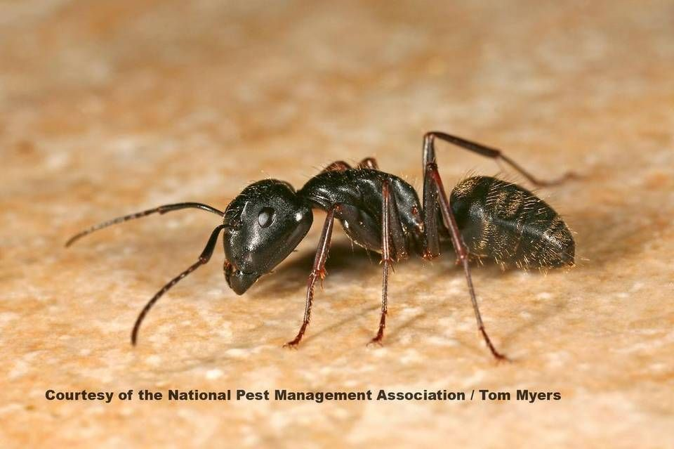 Drought Ups Activity Of Unwanted Pests Ants Types Of Ants Ant Species