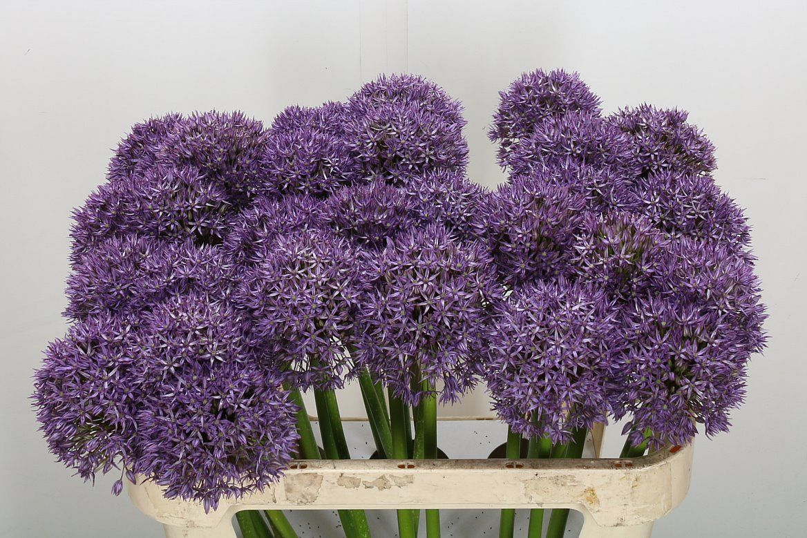 Allium Purple Caila Height 85cm Quantity 10 Stems Price 25 Plants Allium 10 Things