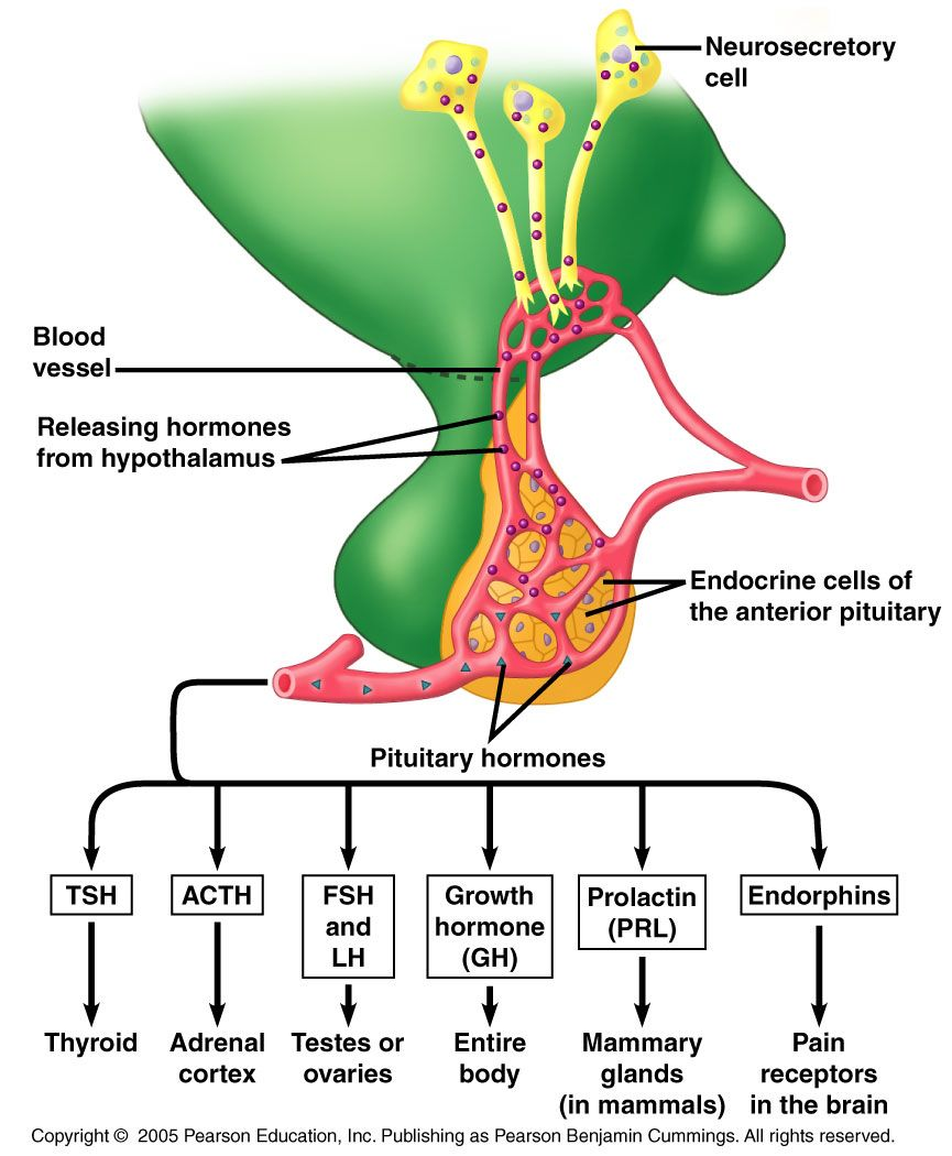 anterior pituitary hormones | tejidos | pinterest, Cephalic Vein