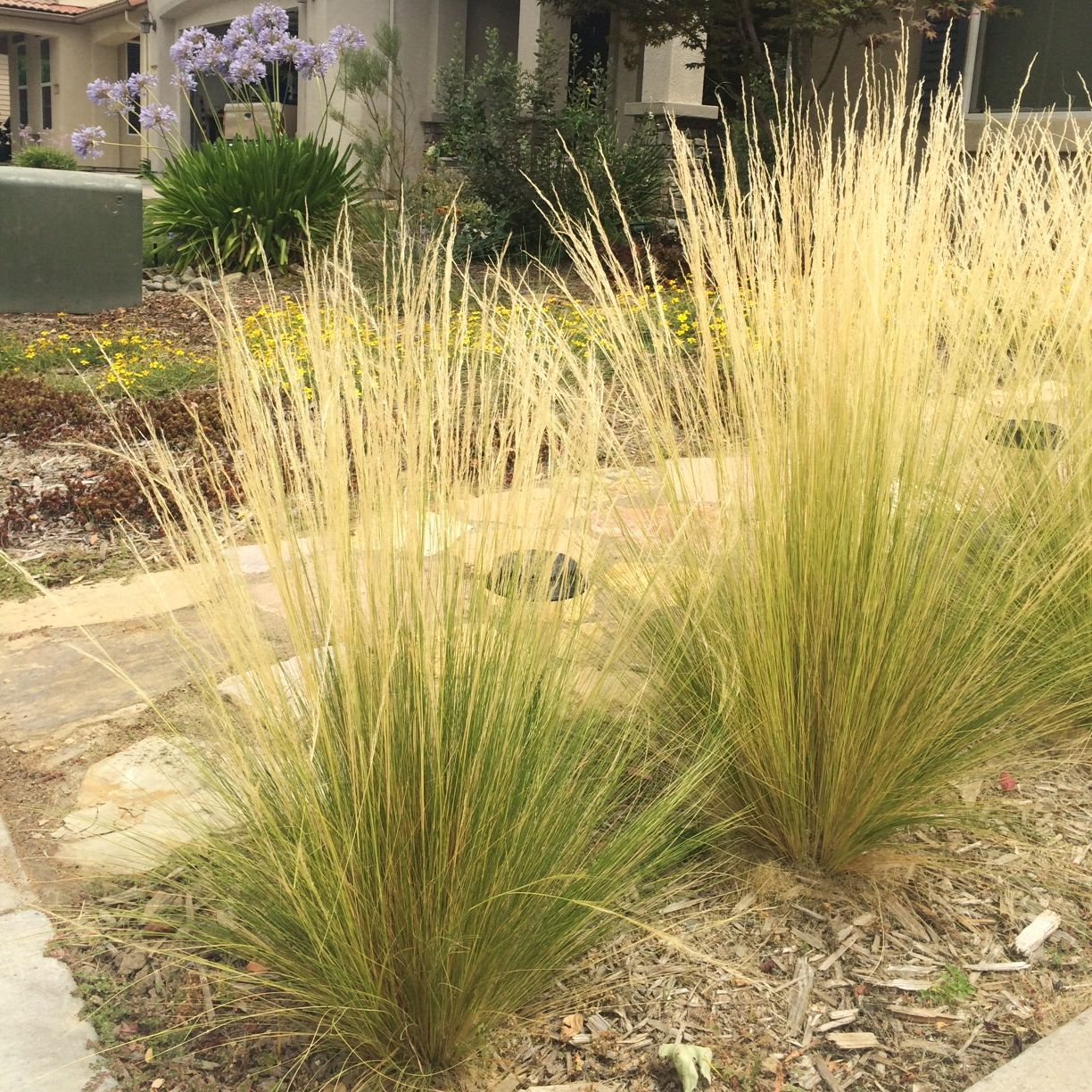 Mexican feather grass nasella or stipa tenuissima is for Ornamental grass that looks like wheat