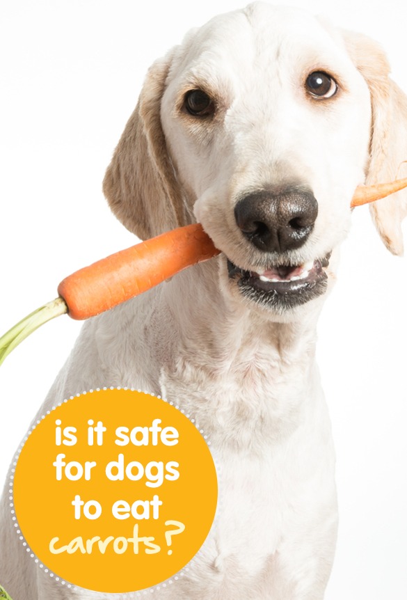 Is It Safe For Dogs To Eat Carrots? Can dogs eat, Can